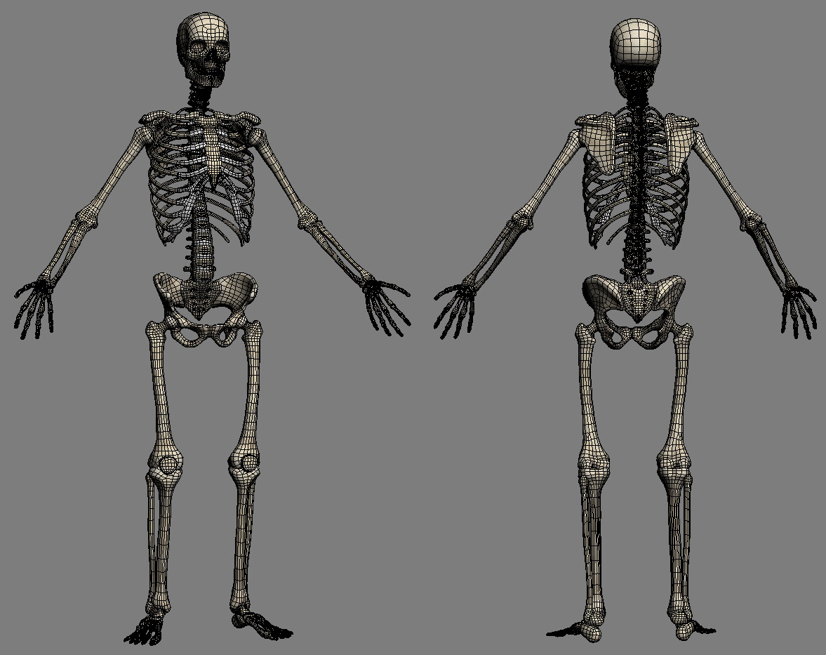 Skeleton & Muscles